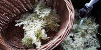 Jednoduchý bezinkový med: Zázračný přírodní lék na kašel i horečku vyjde na pár korun