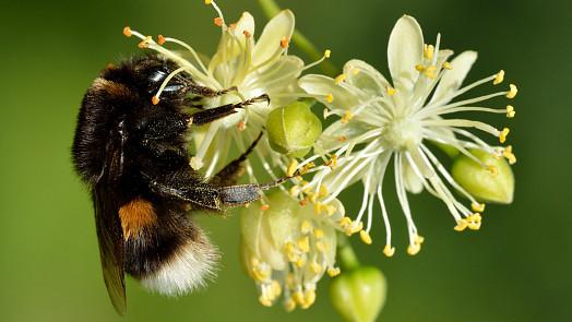 Byliny v kuchyni: Lipový čaj pomáhá při horkosti. Kdy sbírat květy, aby byly nejúčinnější?