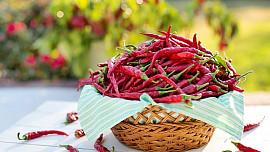 Chilli je rostlina, která nás chce zabít svým obranným mechanismem, a přesto ji milujeme. Proč?
