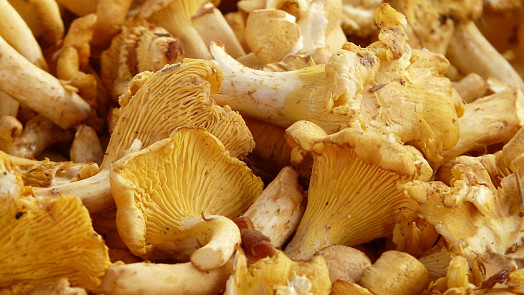 Delikatesa z lesa: Vyrazte na lišky! Tyhle houby skvěle chutnají a dokonce mírní i deprese