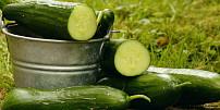 Dokonalá letní zelenina téměř bez kalorií: Salátové okurky pomáhají při hubnutí a zlepšují stav pleti