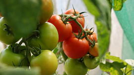 Jak vypěstovat rajčata na balkóně? Rady a tipy pro únorové sázení