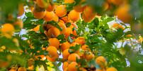 Meruňky, zázrak pro zdraví a krásu: zpomalují stárnutí, zjemní pleť a pomůžou vylepšit náladu