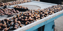 Jak správně připravit jedlé kaštany? Je to dobrota plná vitaminu C pro malé i velké