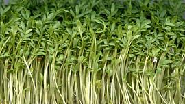 Byliny v kuchyni: Je řeřicha nejzdravější rostlinou světa? Vypěstujete ji ve vatě za pár dní
