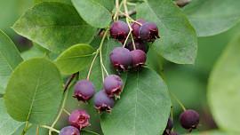 Byliny v kuchyni: Víte, proč se muchovníku říká rozinkový strom a jak chutnají jeho plody?