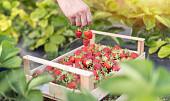 Nakupujte jahody chytře! Čeho si všímat vobchodě a jak plody nejlépe zamrazit?
