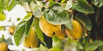 Znáte kdoule? Záhadné trpké ovoce zklášterních zahrad dalo název marmeládě