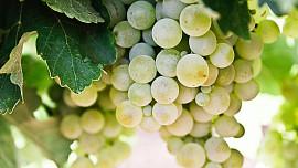 Hitem podzimních vinobraní je burčák. Poradíme vám, jak poznat ten kvalitní