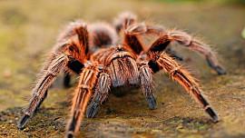 Pochoutka pro odvážné: Čtvrtkilový pavouk opečený jako špekáček dokáže zasytit, jen se odhodlat