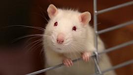 Jedli byste smaženou krysu? Šílenosti na talíři, které jsou v cizích zemích naprostými delikatesami