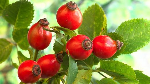 Byliny v kuchyni: Šípkový čaj na podzim skvěle posílí imunitu a prospěje i dýchacím cestám