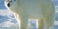 Retro okénko: Proč má legendární Polárka ve znaku ledního medvěda?