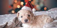 Pejskaři, pozor! Tyto vánoční pochutiny domácím mazlíčkům rozhodně nedávejte