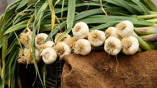 Sezóna českého česneku je tu! Poznejte sílu nejúčinnějšího přírodního antibiotika
