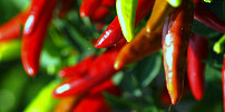 Snadné pěstování chilli papriček