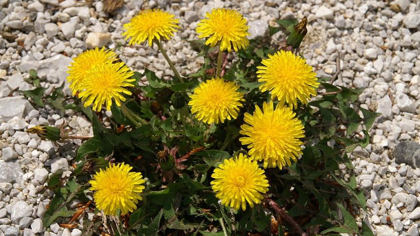 Zdroj: Wikimedia Commons, Benjamin Zwittnig - http://www2.arnes.si/~bzwitt/flora/taraxacum_officinale.html, CC BY 2.5