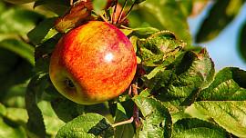 Jablko je koule plná prospěšných látek a vitaminů. Proč byste je měli jíst každý den?