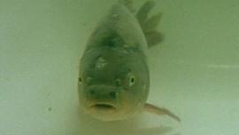 Když kapr nechutná: Jaké druhy ryb se hodí na štědrovečerní stůl?