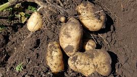 Jak postupovat při skladování brambor: Důležitý je už výběr správné odrůdy