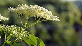 Květy černého bezu mají blahodárné účinky na zdraví. Víte, jak je zpracovat?
