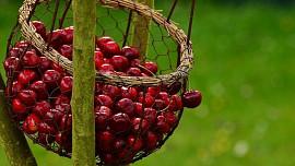 Višně nejsou jen na griotku. Džus z nich snižuje horečku