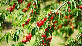 Jak skladovat a zpracovat třešně. Jsou z nich skvělé mošty, džemy i destiláty