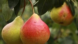 Hrušky jsou hned po jablkách nejoblíbenější podzimní ovoce. Mají pestré využití - od moučníků po pálenku
