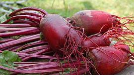 Červená řepa je velmi zdravá a chutná, můžeme ji zavařit i použít v různých jídlech