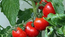 Z rajčat můžeme dělat saláty, vařit z nich nebo je zavařit
