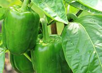 Paprika čerstvá zelená
