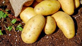 Velmi variabilní brambory jsou nedílnou součástí české kuchyně