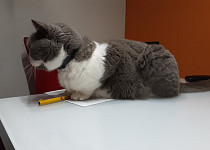 Pečená kočka